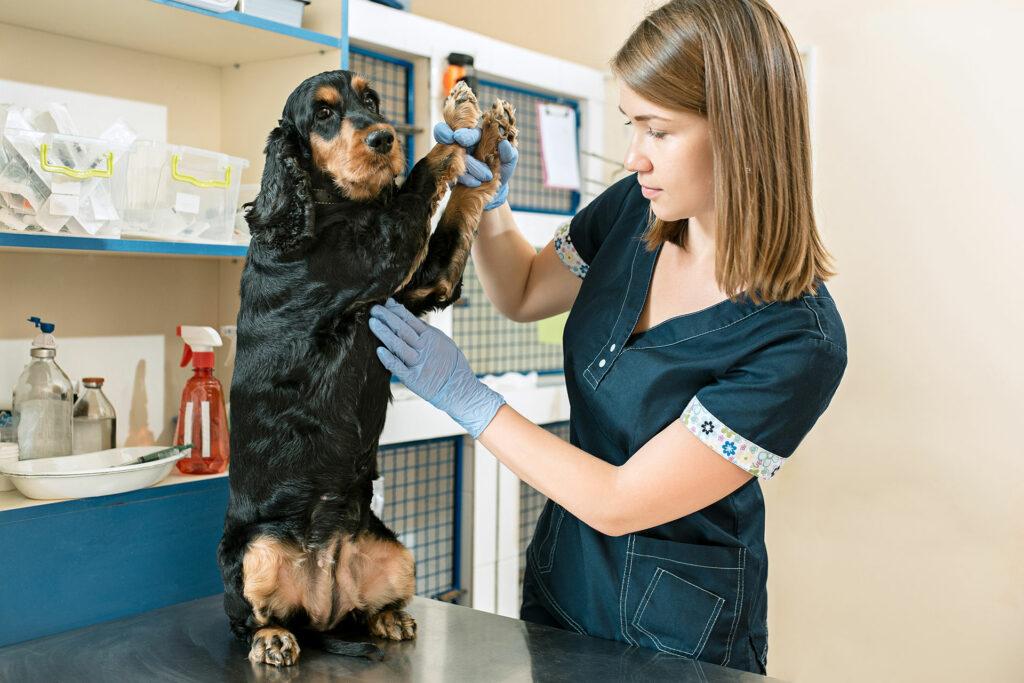 Veterinary nurse examining a dog